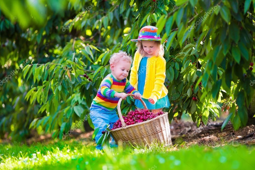 Kids picking cherry fruit on a farm