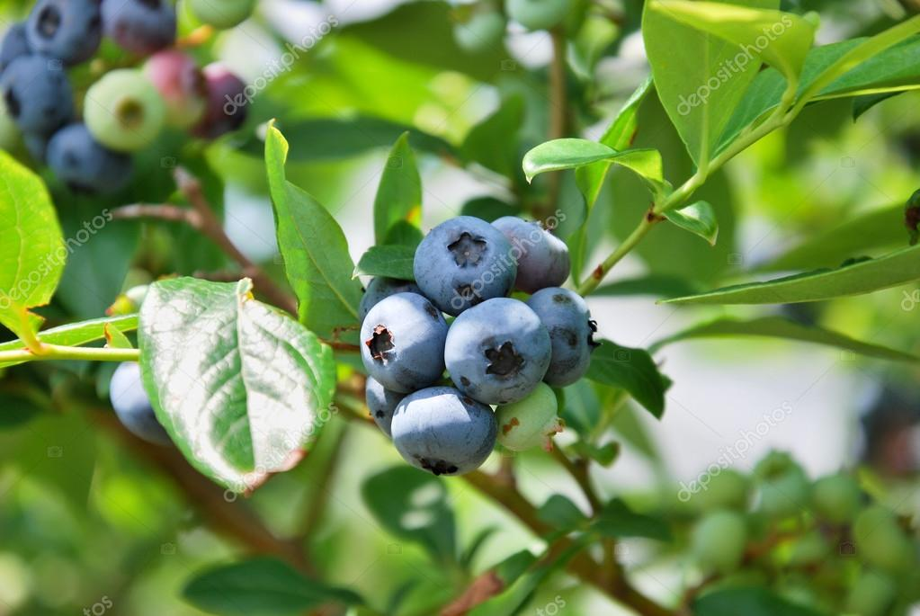 fresh blueberry tree — stock photo © botamochy #102583950