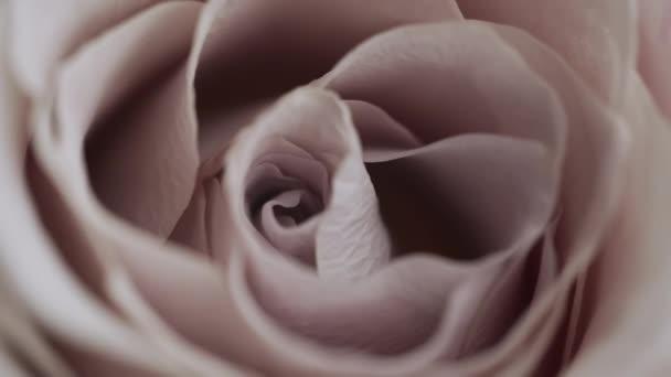 Große schöne rosa blühende Rosenknospe wiegt sich im Wind Makrele aus nächster Nähe