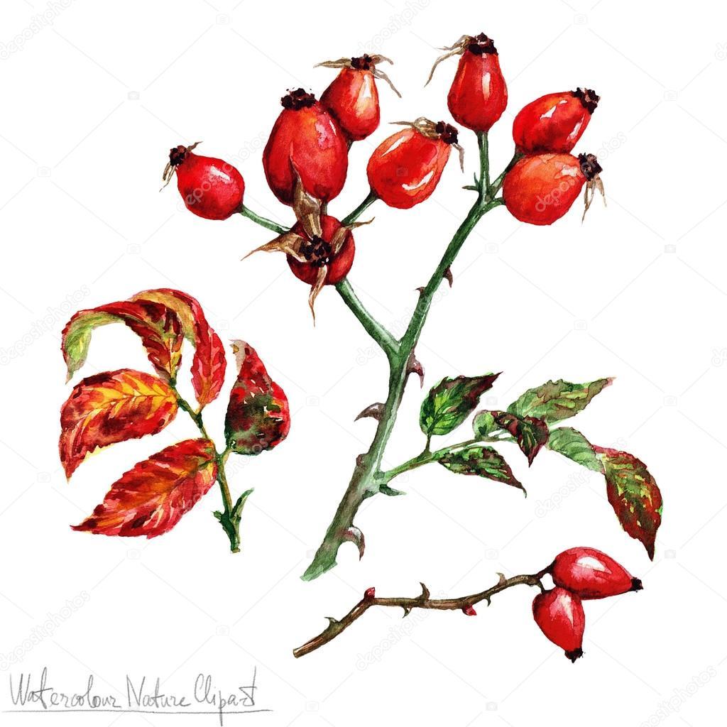 Watercolor Nature Clipart - Briar