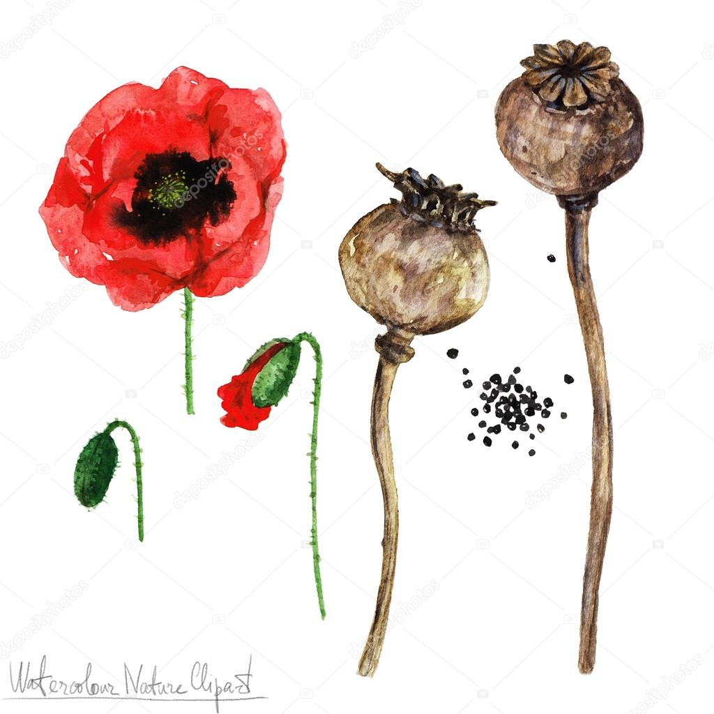 Watercolor Nature Clipart Poppy Stock Photo Nataliahubbert