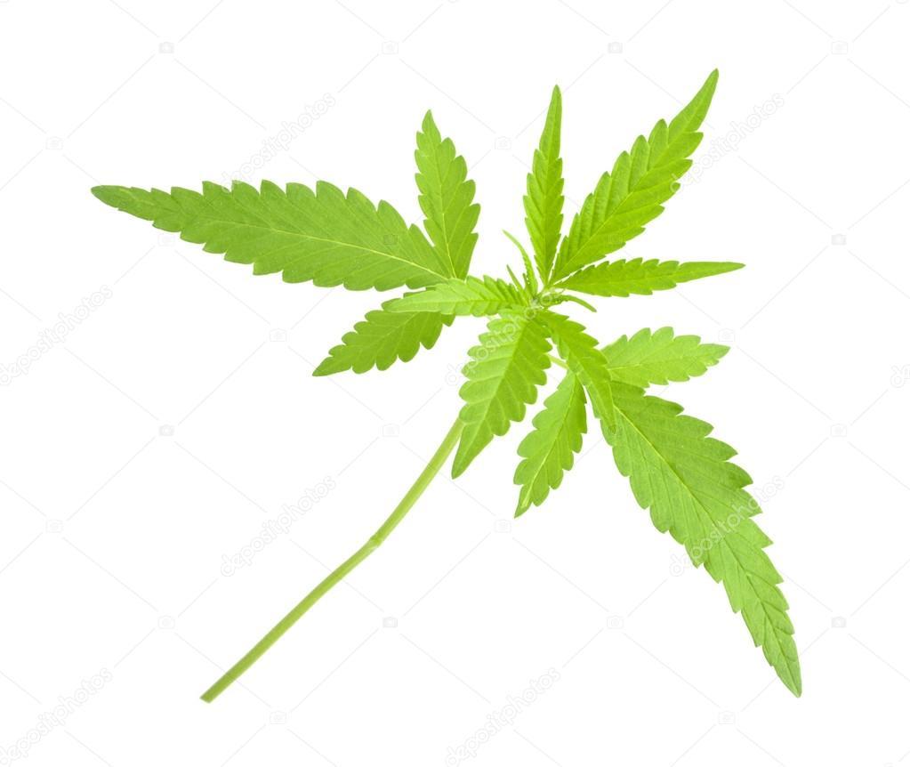 Cannabis sativa l plant on a white background — Stock Photo