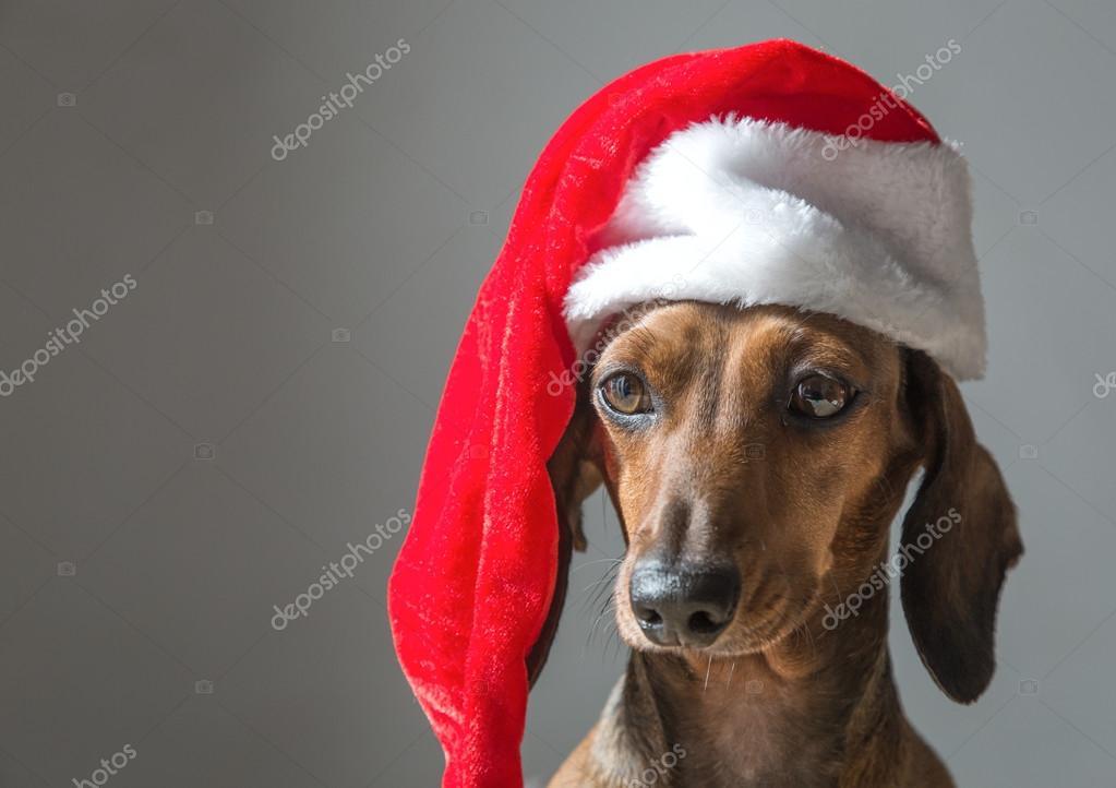 Cachorro de Teckel miniatura Navidad Santa Claus sombrero– imagen de stock cb8dca244a0