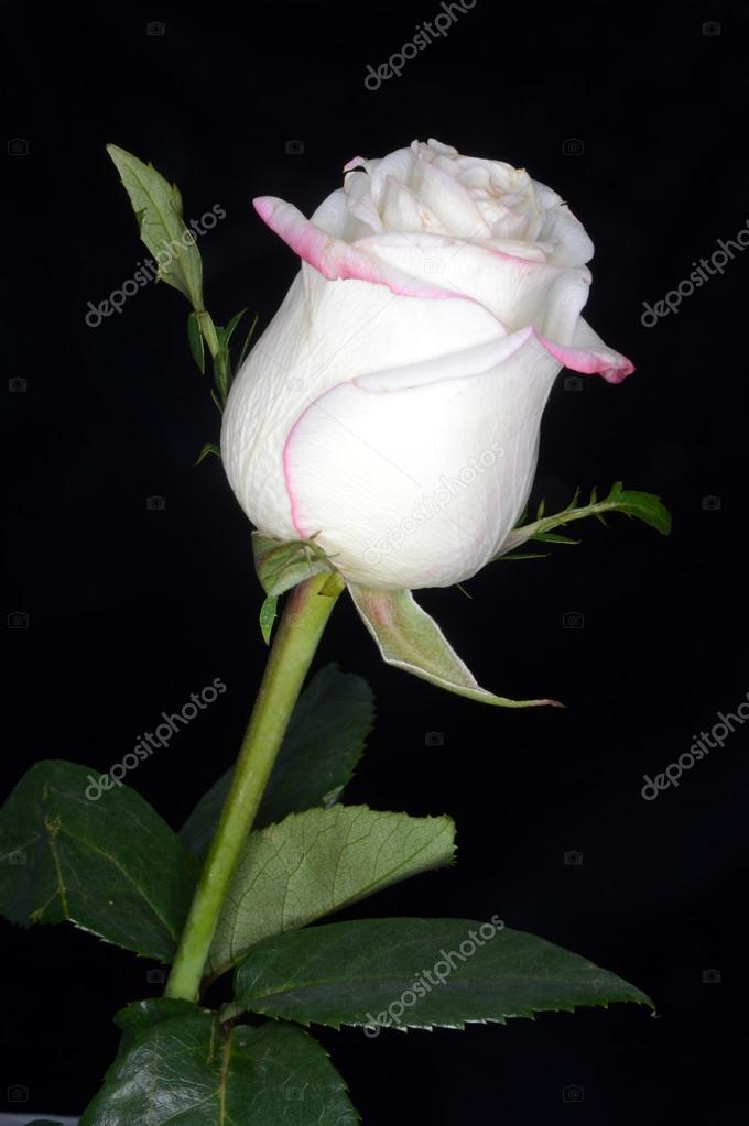 Rosa Bianca Su Sfondo Nero Foto Stock Skaccm 56654473