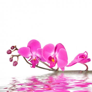 Floral background: pink orchid flowers isolated over a white backdrop along with reflections in wavy water surface