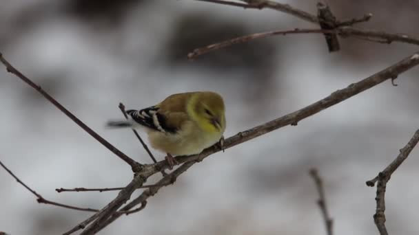 American Goldfinch (Spinus tristis) perched on a tree limb eating a sunflower seed