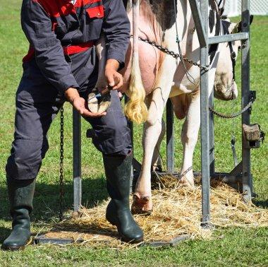 Heeling of the hoof of a cow