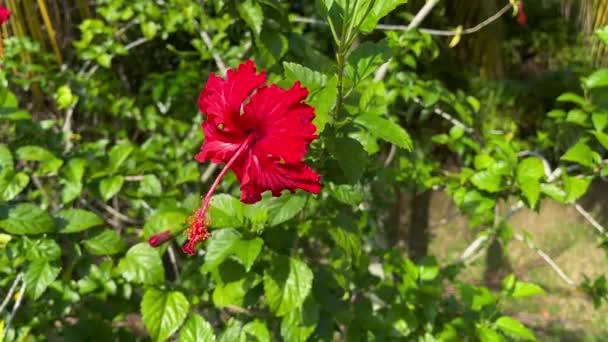 A hibiszkusz a mályvacukor családba tartozó virágzó növények, a Malvaceae nemzetsége..