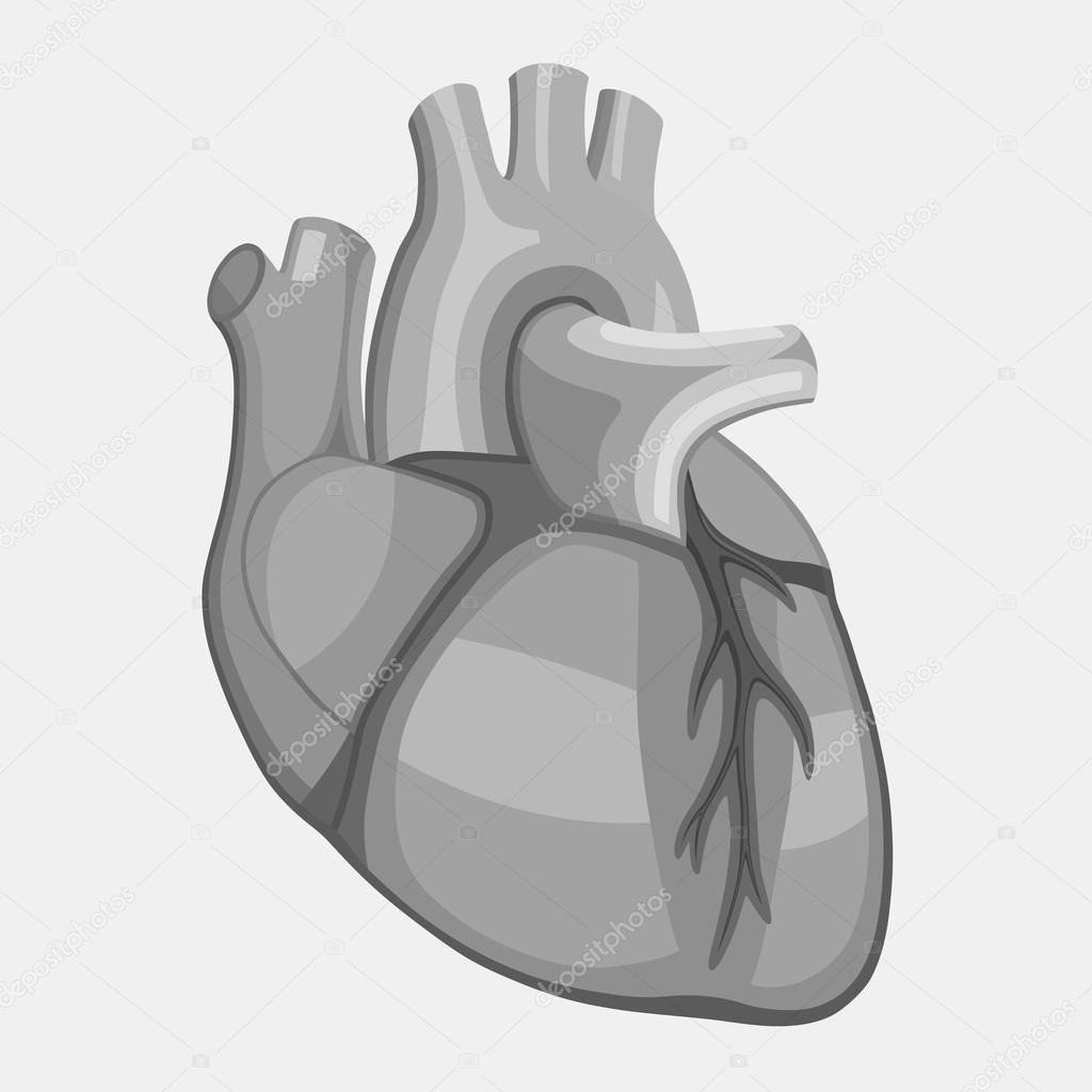 Menschliches Herz Anatomie — Stockvektor © vlad210498 #116722662