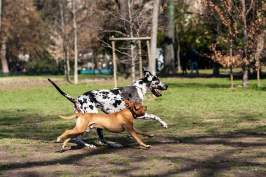 dalmatian dog playing with Staffordshire Terrier dog