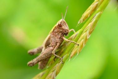 Locust on blurred green background