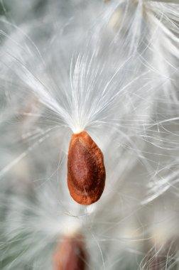 red dandelion seed