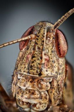 Grasshopper head brown