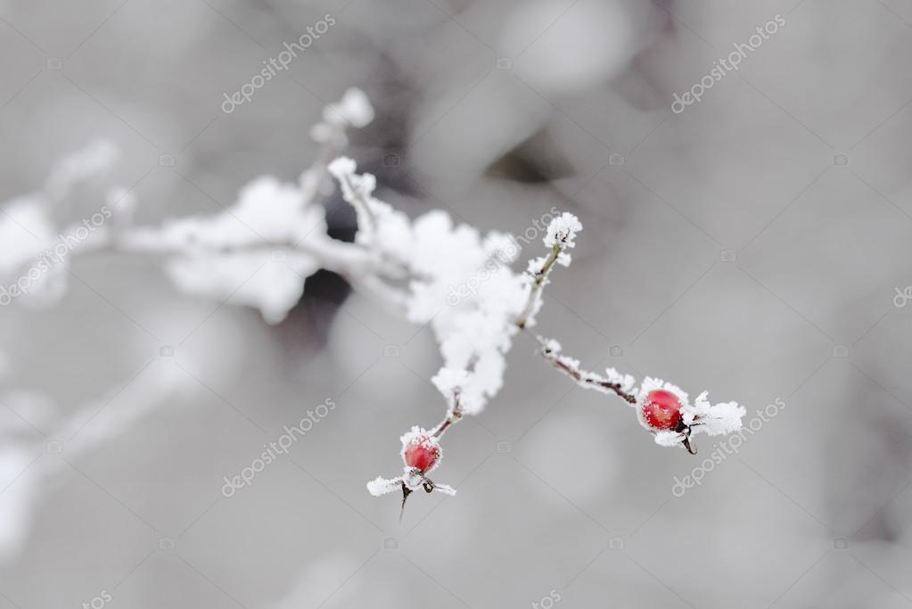 Branch with berries in hoarfrost