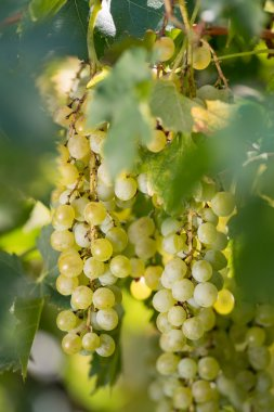 Vineyard with bunches of grapes