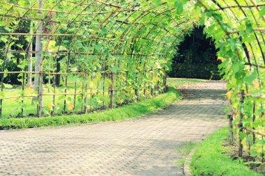 Tree tunnel of Angled Luffa plant