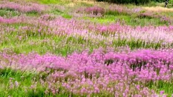 Purple flowers on the field swaying in the wind