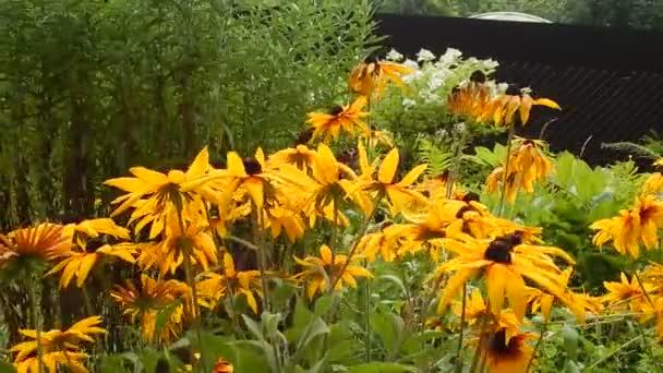 Motýlů otakárek sbírat nektar z květů žluté Astry angliae kymácí ve větru