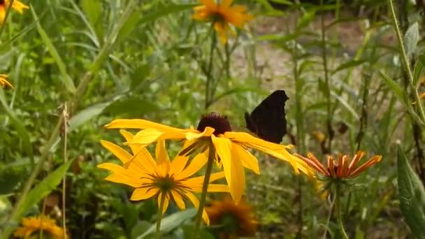 Coda forcuta farfalle raccolgono nettare dai fiori che ondeggiano al vento giallo Aster