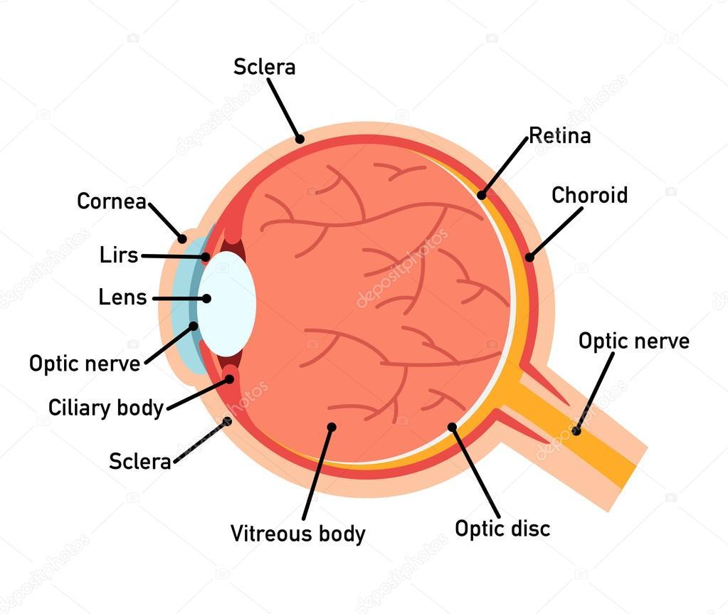 Diagrama de la anatomía del ojo, Ilustración — Vector de stock ...