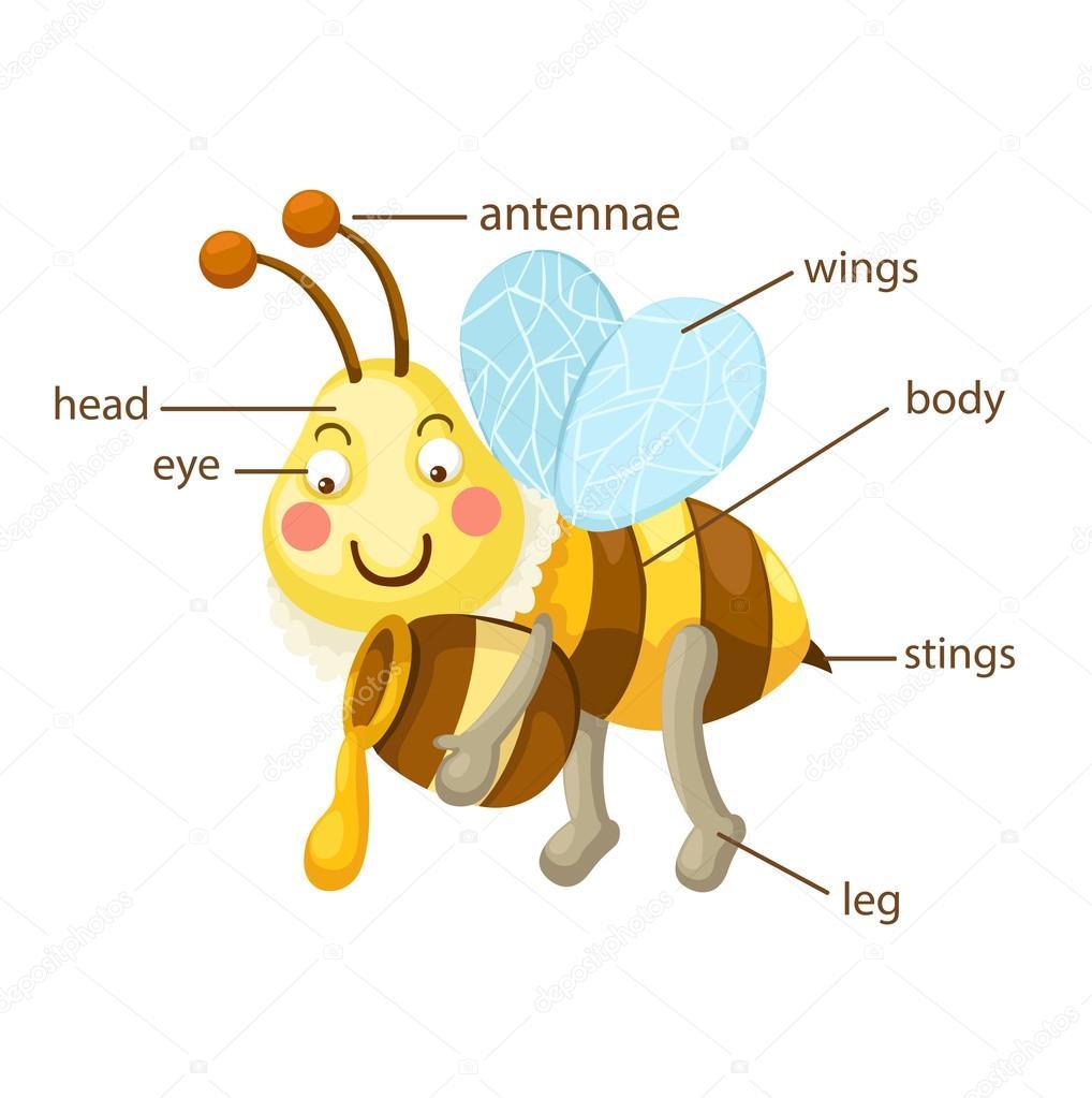 parte del vocabulario de abeja del vector del cuerpo — Archivo ...
