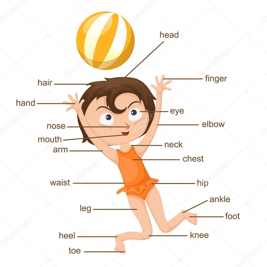 Wortschatz-Teil des Körpers Vektor — Stockvektor © jehsomwang #59928773