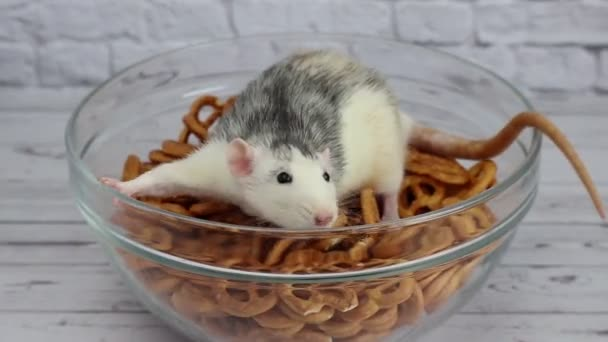 A small cute decorative grey and white rat sits in a transparent bowl with salted bagels, pretzels. A close-up of a rodent. Beer snack.