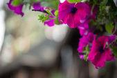 Fotografia bellezza delle Rose