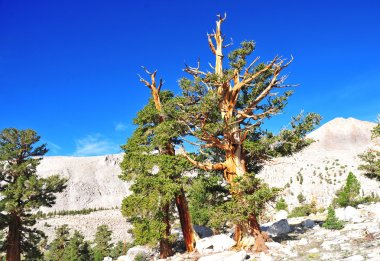 Ancient Bristlecone Pines in mountain setting, California
