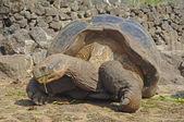 Galapágy želvy, Galapágy, Ekvádor