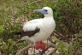 Červená s patkou, útěchy, Galapágy, Ekvádor