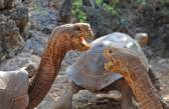 Galapágy želvy v námluvách, Galapágy, Ekvádor