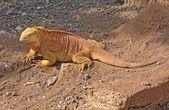 Země Iguana, Galapágy, Ekvádor