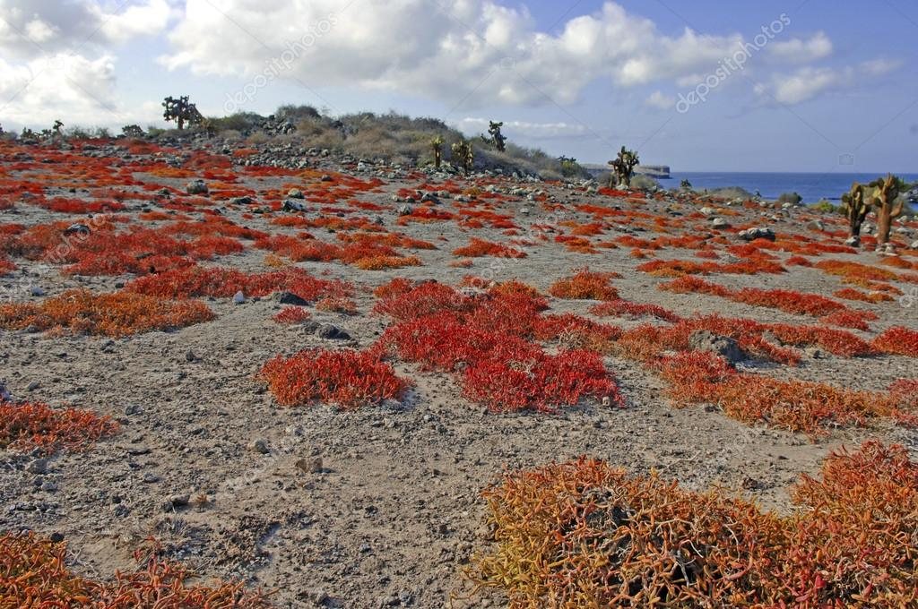 Arid Desert landscape and Cactus, South Plaza Island, Galapagos Islands