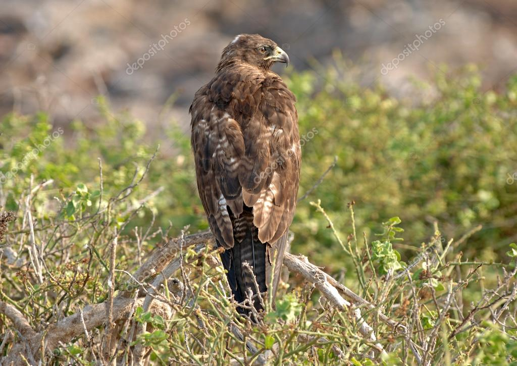 Galapagos Hawk, Galapagos Islands, Ecuador