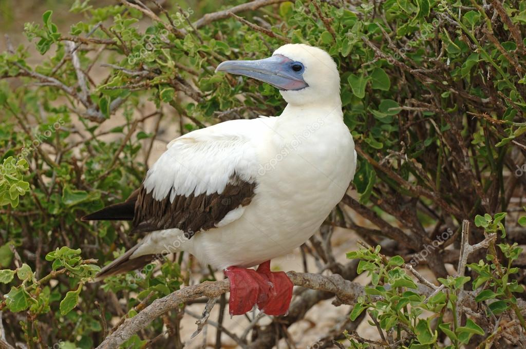 Red footed Booby, Galapagos Islands, Ecuador
