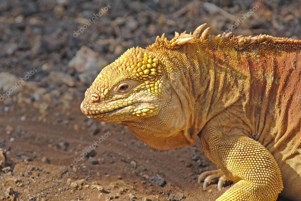Land Iguana, Galapagos Islands, Ecuador