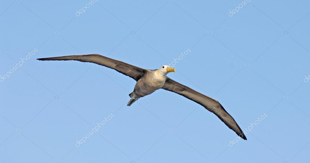 Waved Albatross, Galapagos Islands, Ecuador