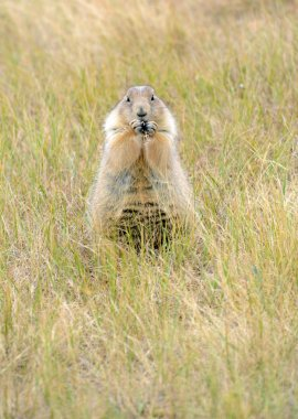 Prairie dogs are burrowing rodents native to several Rocky Mountain and Great Plains states and live in large communities underground.