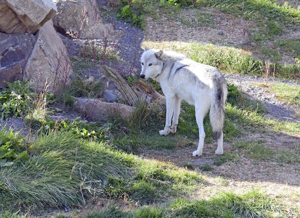 Gray wolf in yellowstone, Rocky Mountains, a success story