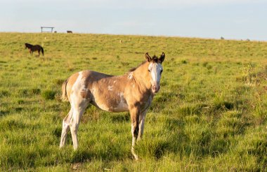 Young Creole foal in a horse breeding farm in southern Brazil. Creole is a Brazilian breed of horse, originally from animals of Andalusian and Berber blood.
