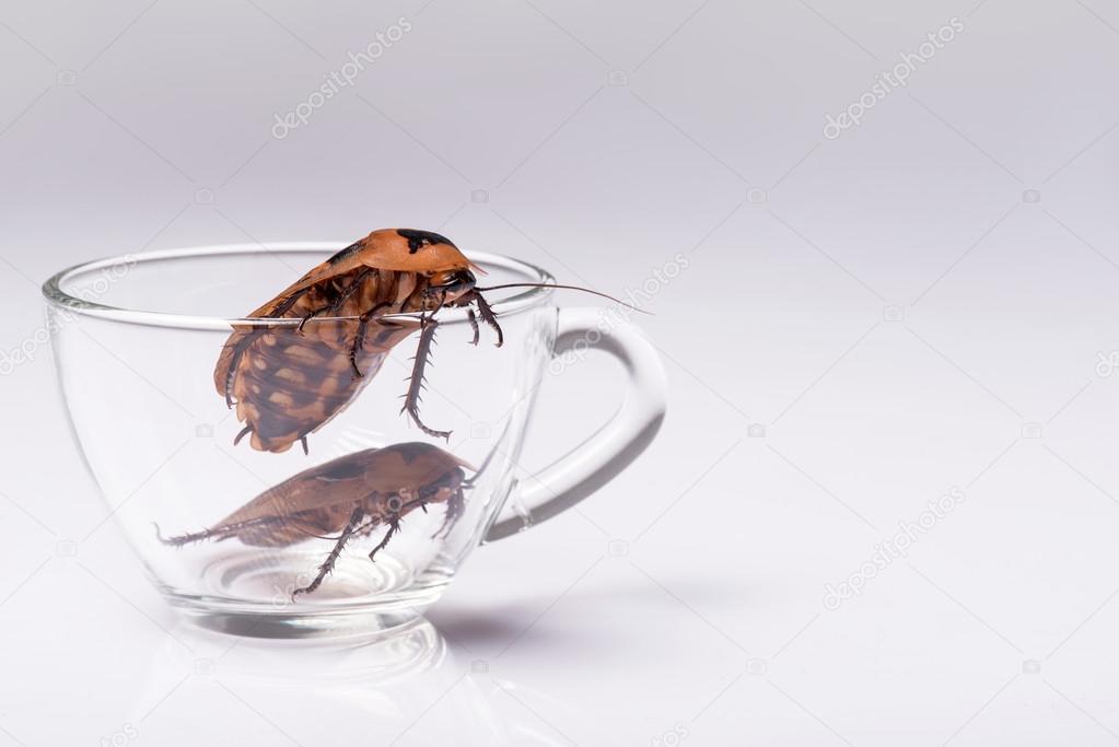 Madagascar hissing cockroach on white background