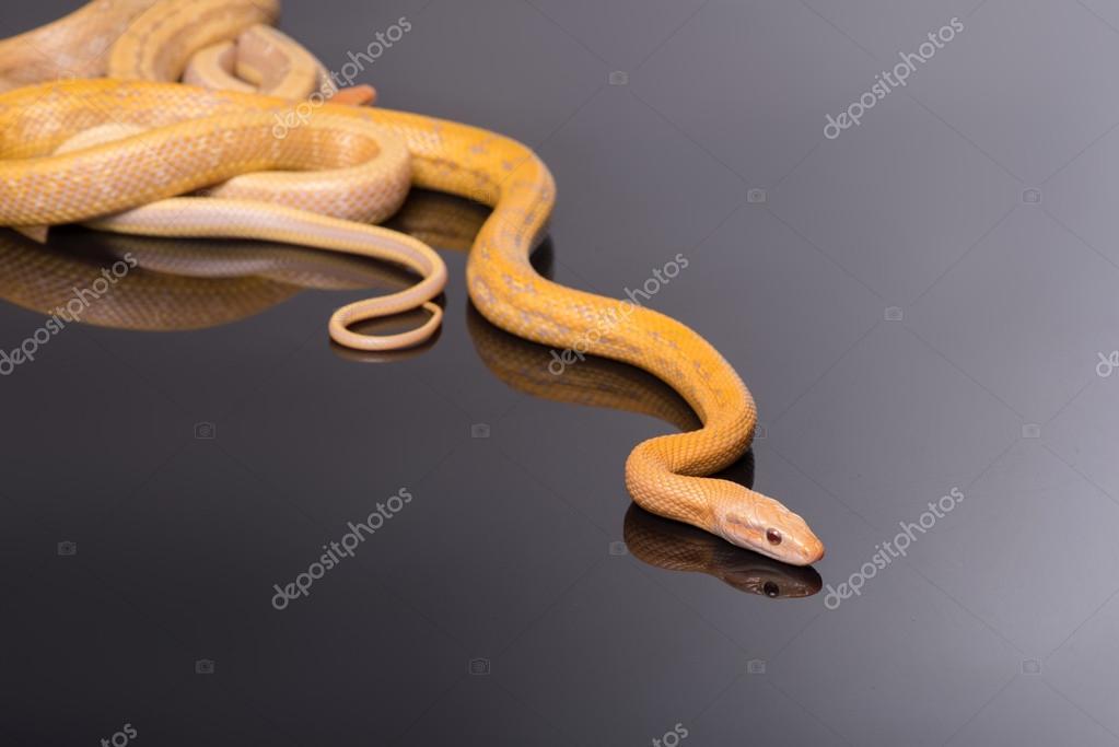 Yellow Rat Snake on black background