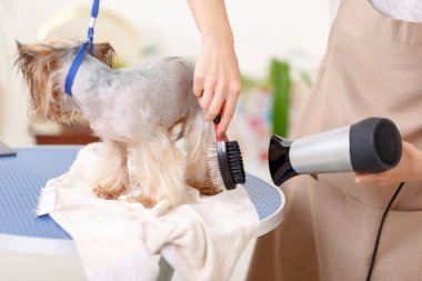 Yorkshire terrier is being processed by hairdryer.