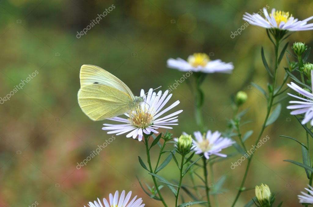 Butterfly on a flower collecting nectar proboscis.