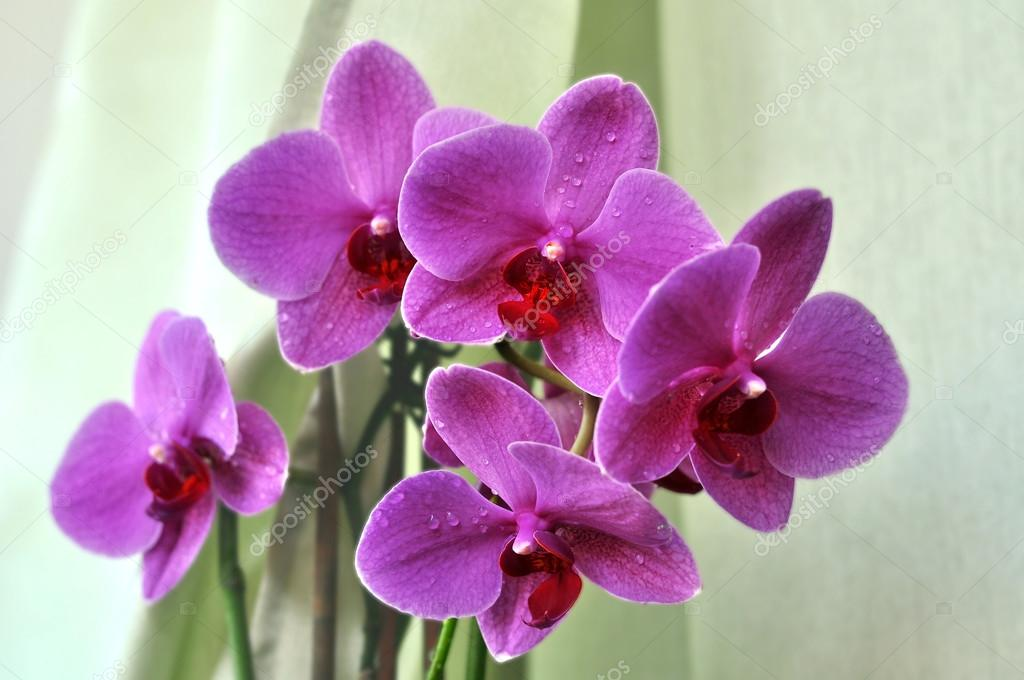 Blooming pink- purple orchid. Room vase with orchids. Orchid phalaenopsis.