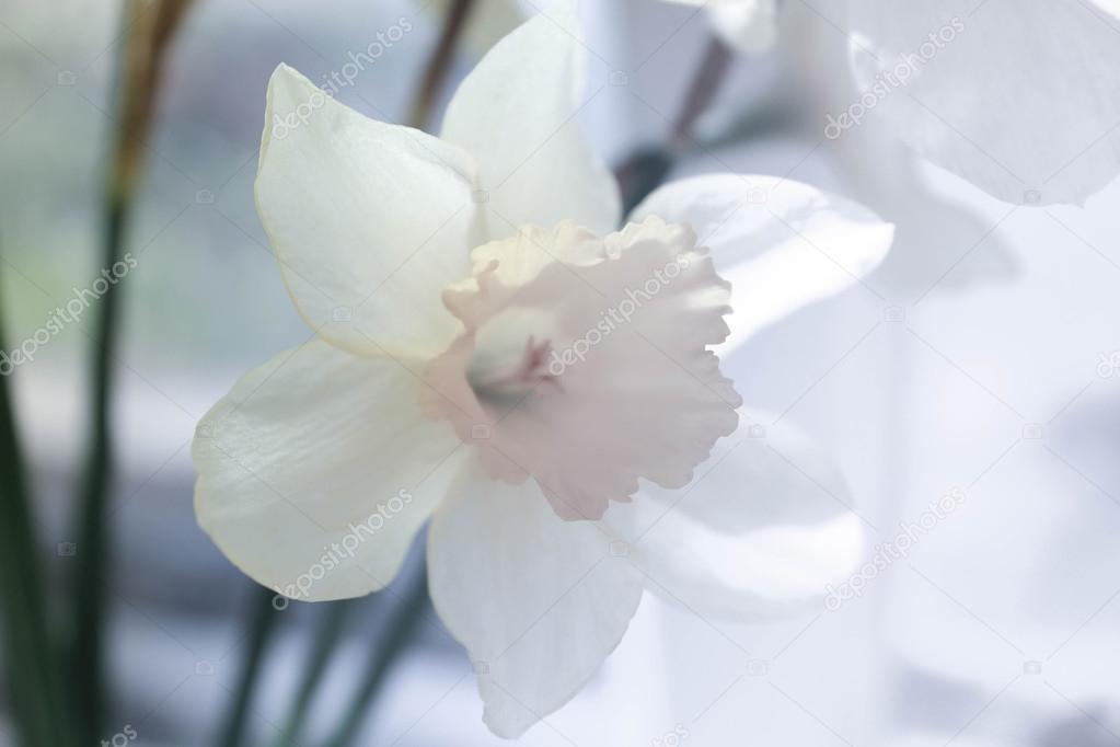 White daffodil flower stock photo oliay 106957326 beautiful white daffodil flower close up photo by oliay mightylinksfo