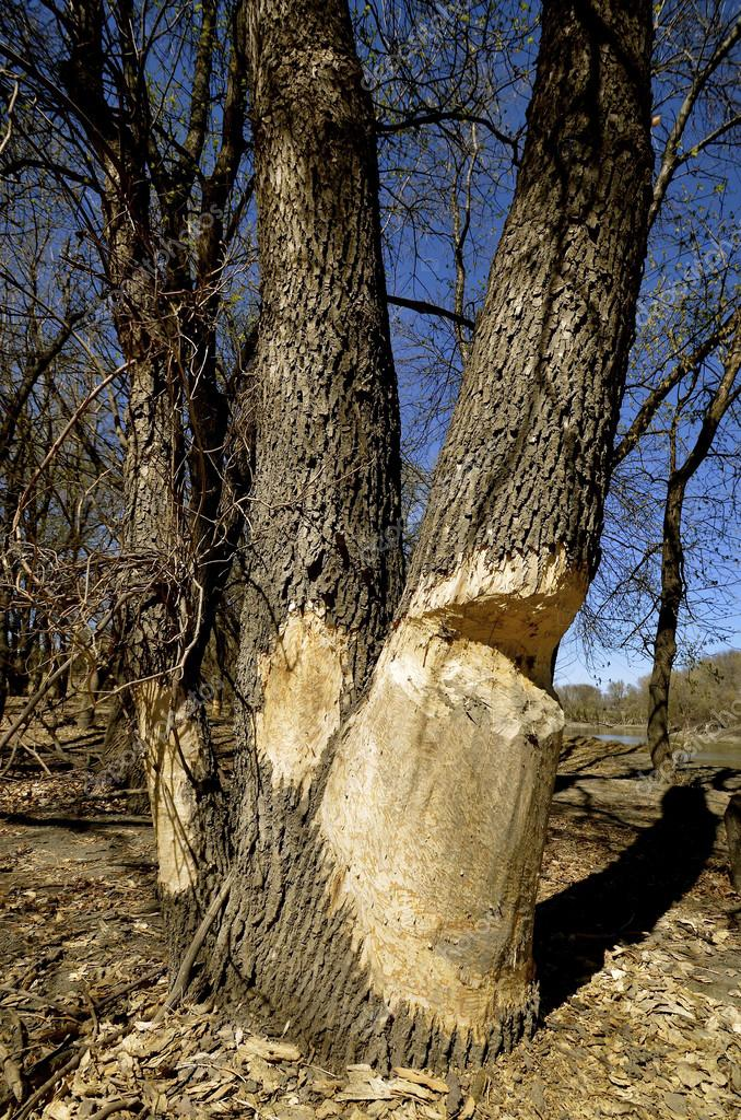 Beavers chewing on tree