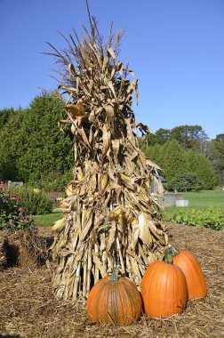 Shock of corn and pumpkins.