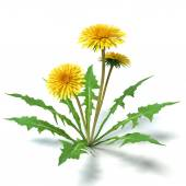 Pampeliška květin